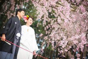 beautiful sakura in Kyoto kamogawa