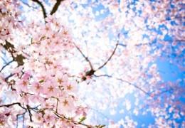cherry blossom in Kyoto