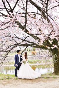 Cherry blossom in Kamogawa