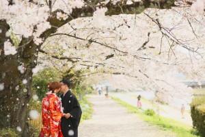 Sakura scenery in Kamogawa