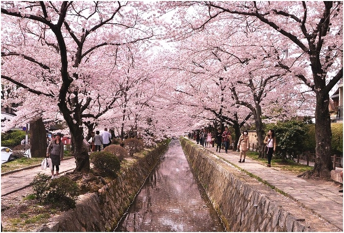 Kyoto Philosopher's path Cherry blossom landscape