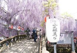 Nakayama fuji flower festival - Yanagawa city, Fukuoka
