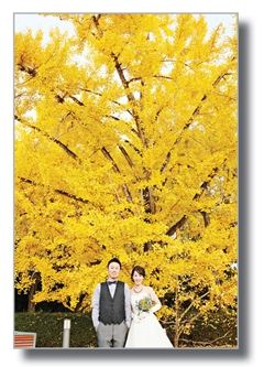 Yellow leaves of Icho tree